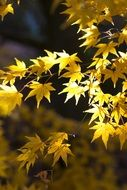 yellow maple leaves in november