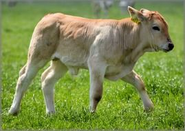 domestic calf grazes on a meadow