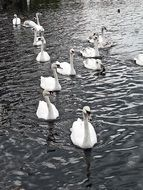 a flock of white swans in a pond