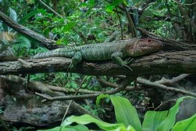 northern caiman lizard on a tree in the forest