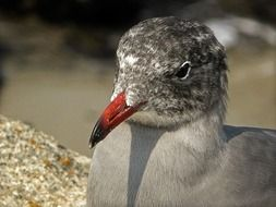 spotted gray seagull head