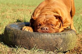 french mastiff playing with an old tire