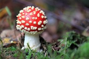 toxic spotted fly agaric mushroom