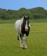 horse animal beautiful pinto black