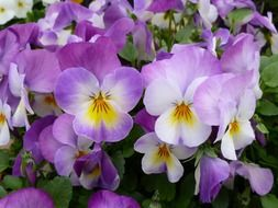 white-violet pansies close-up