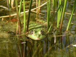frog green nature water pond
