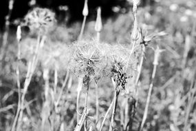 dandelion dried plants