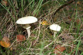 Mushrooms among leaves and grass