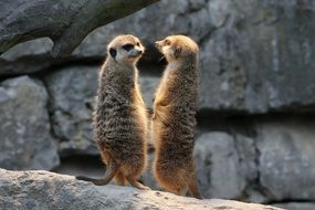 two cute meerkat animals
