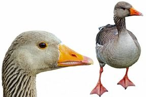 greylag clipping path birds