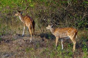 spotted deer in national park india