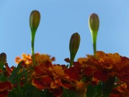Marigold with buds on a background of blue sky