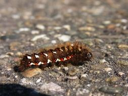 fluffy brown caterpillar on a stone