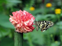 surprising beauty carnation butterfly