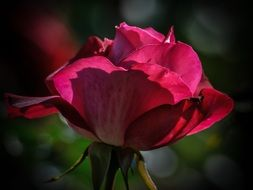 romantic light on the pink rose