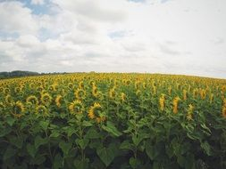 clouds over the sunflower field