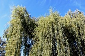weeping willows, bottom view