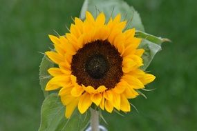 sunflower flower closeup