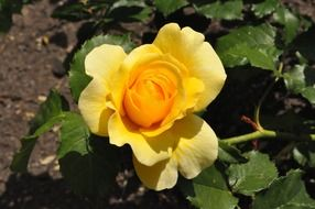 yellow rose in the home garden