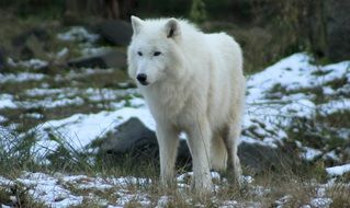 white wolf in the zoo