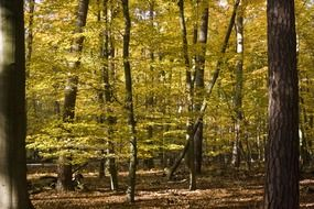 beech wood golden autumn forest