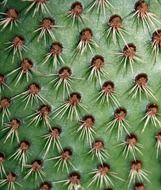 spikes of cactus closeup