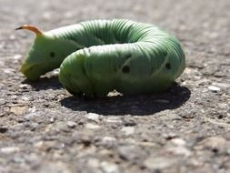 green caterpillar of winch hawk moth