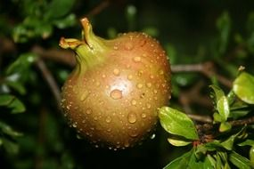 pomegranate fruits with droplets gardening