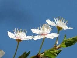 flowers of wild plums on the branch