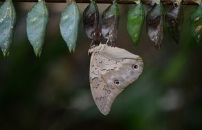 Picture of butterfly cocoons