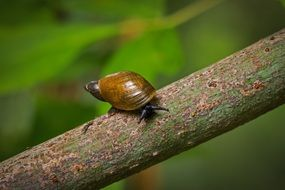 snail with brown shell on a branch