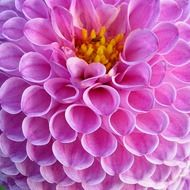 spherical pale purple dahlia close up