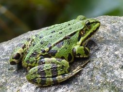 green frog on stone
