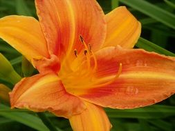 Orange daylily flower blossoms