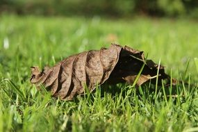 dried autumn leaf on green grass