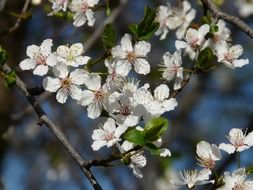 blooming wild plum