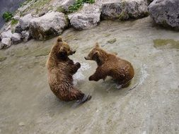 frolicking brown bears
