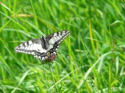 swallowtail butterfly on grass close-up