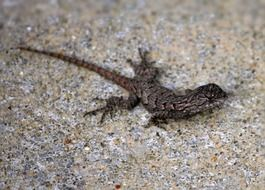 Picture of eastern fence lizard