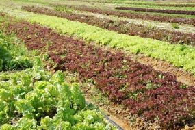 lettuce plants agriculture