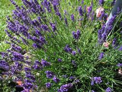 purple lavender, blooming plant