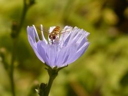 insect on a flower of ordinary chicory