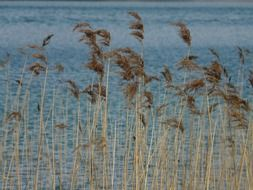 dry reed in front of water, phragmites australis