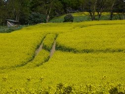 Beautiful field of rapeseeds