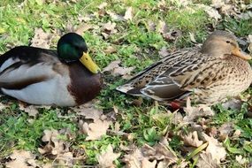 resting couple of wild ducks