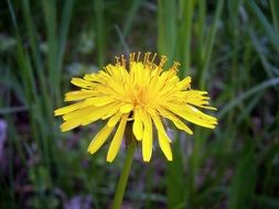 yellow dandelion on the background of small grass