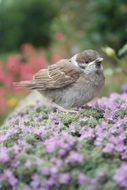 sparrow on the flowering thyme plant