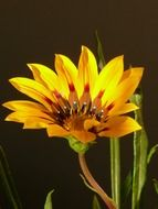 golden flower on a stalk on a dark background