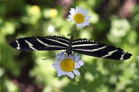 Black white butterfly on a white daisy