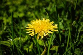 lonely yellow dandelion among green grass